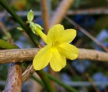 Image of winter jasmine