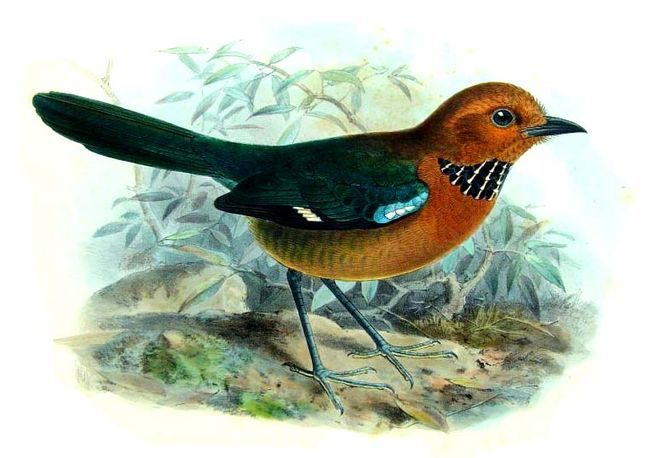 Image of Crossley's Ground Roller