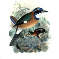 Image of Pitta-like Ground-Roller