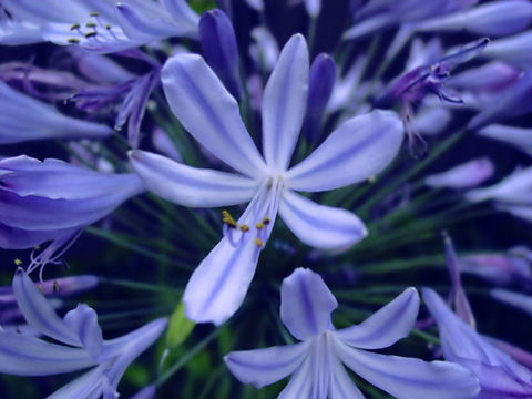 Image of African-lily
