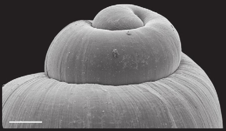 Image of <i>Marstonia comalensis</i>