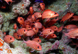 Image of Hawaiian Squirrelfish