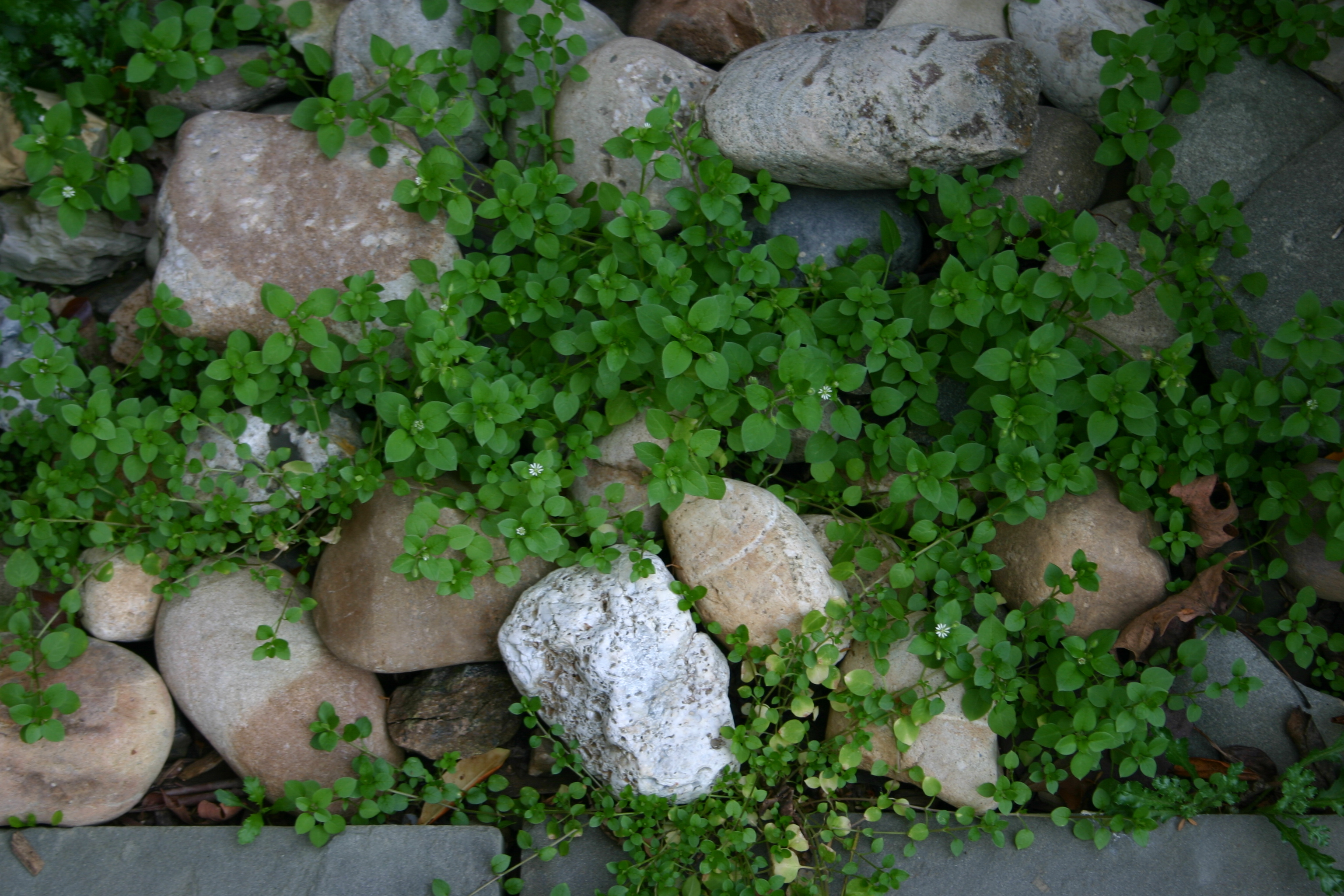 Image of common chickweed