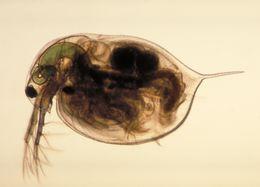 Image of large water flea