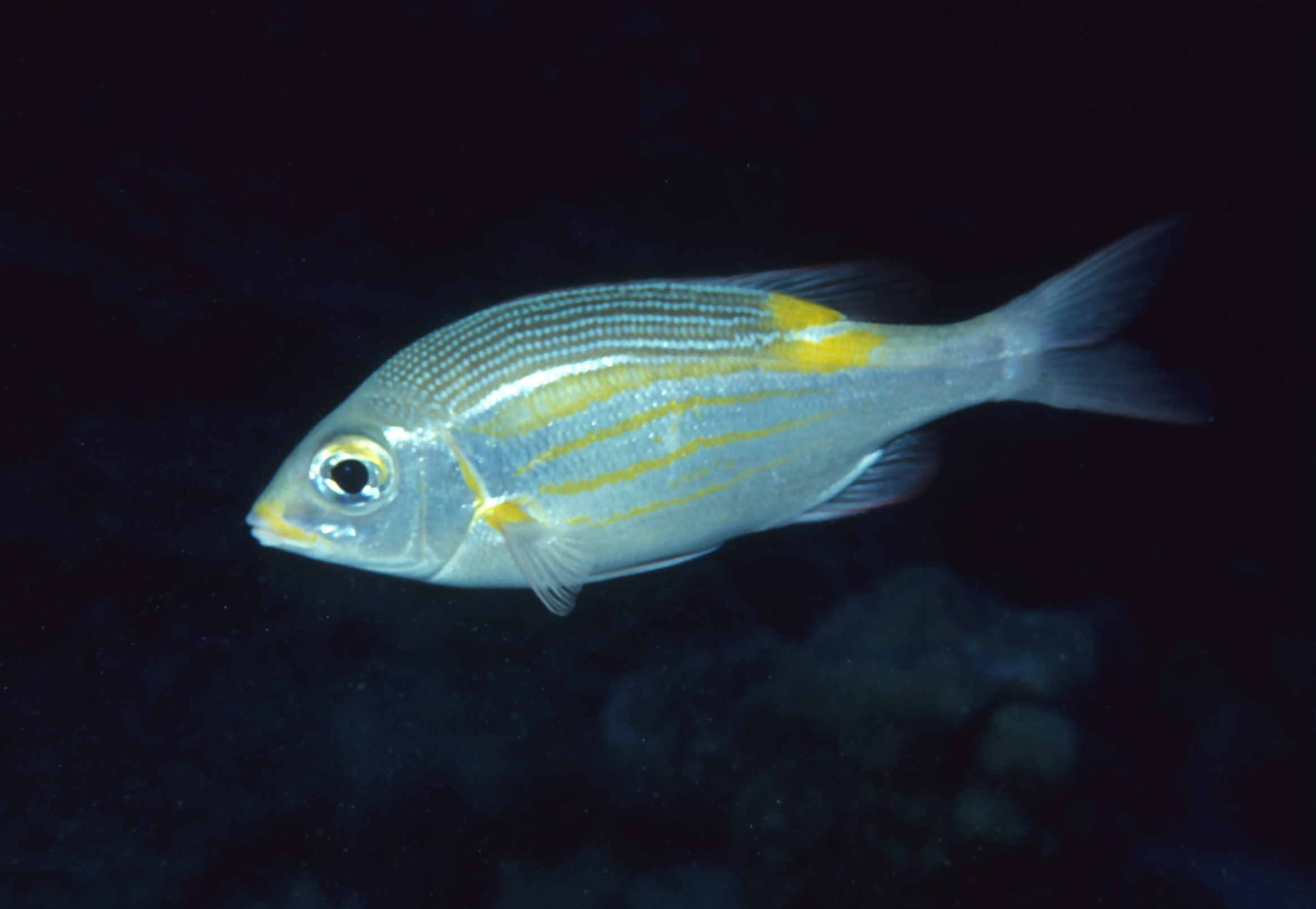 Image of gold-lined large-eyed bream