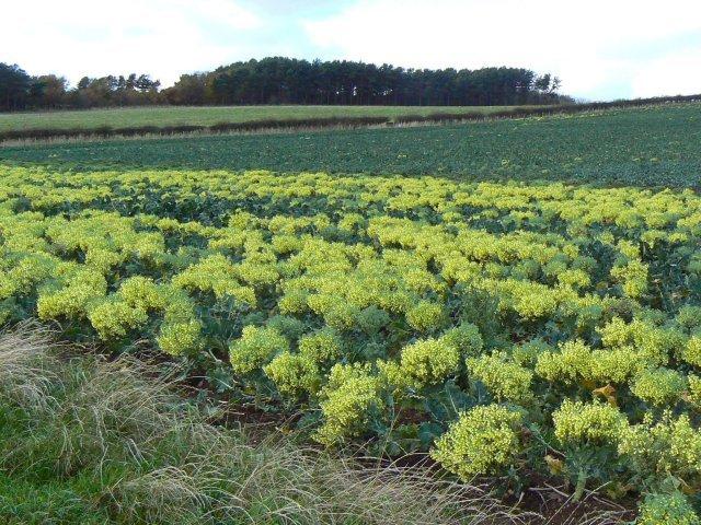 Image of <i>Brassica oleracea</i> var. <i>italica</i>