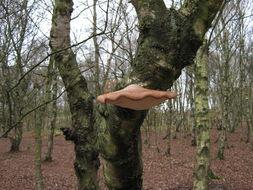 Image of Beefsteak Mushroom