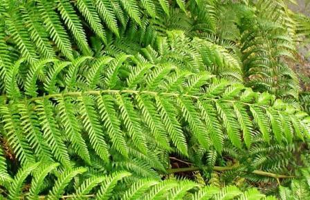 Image of diamondleaf fern