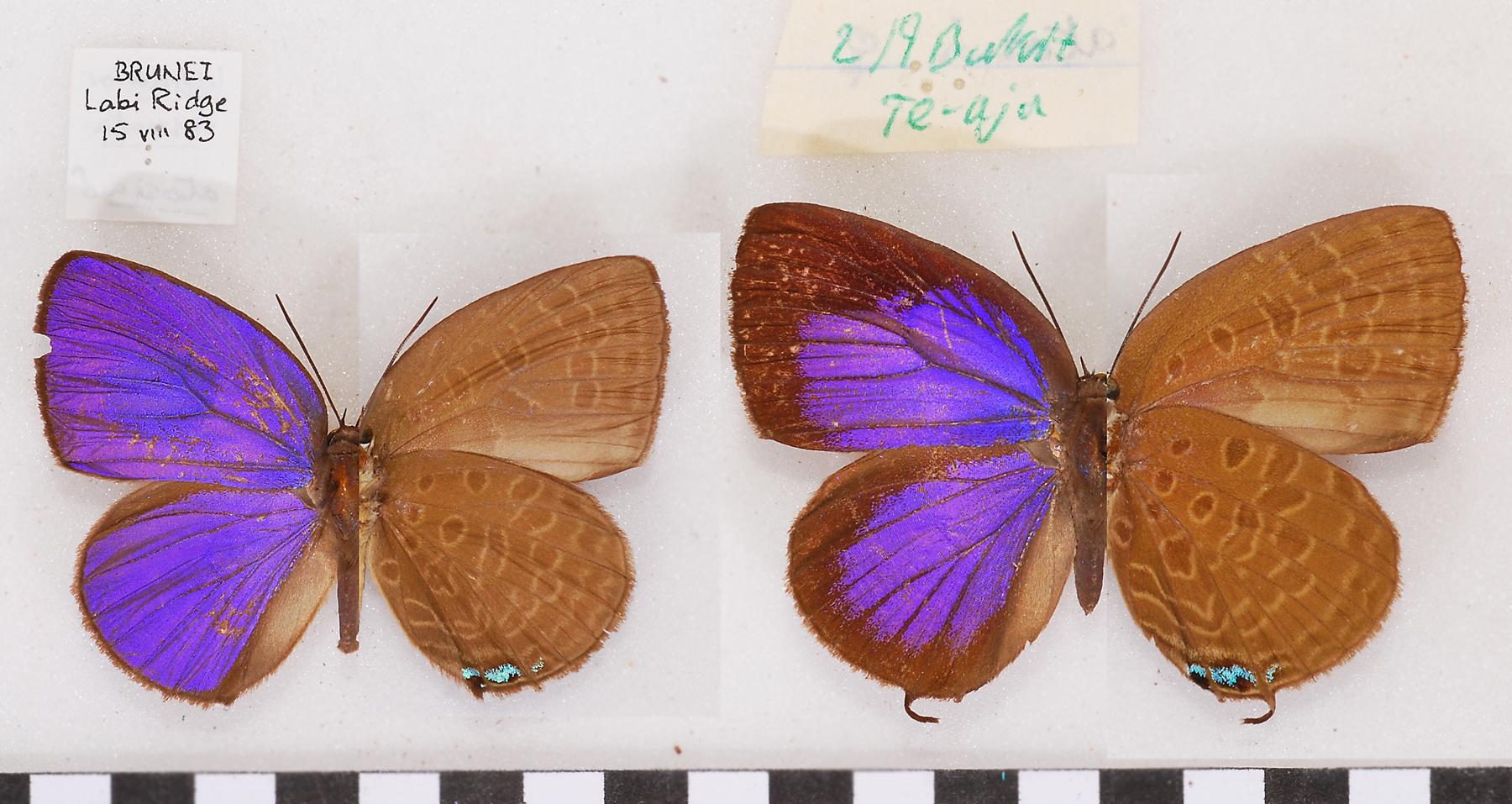 Image of <i>Arhopala atosia</i> (Hewitson (1863))