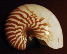 Image of <i>Nautilus macromphalus</i> G. B. Sowerby II 1849