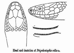Image of Collared Black-headed Snake