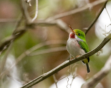 Image of Cuban Tody