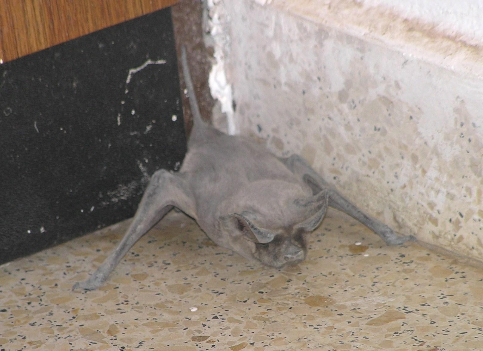 Image of European Free-tailed Bat