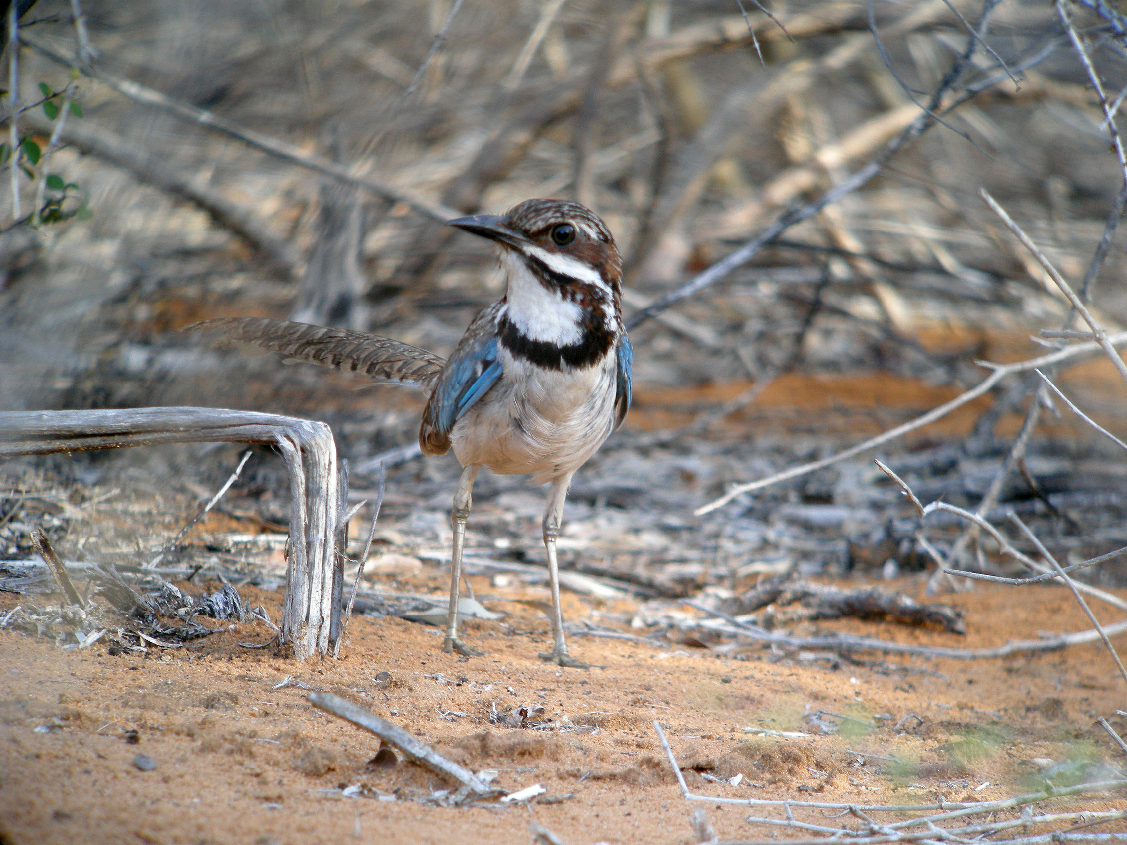 Image of Long-tailed Ground-Roller