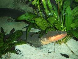 Image of Electric eel
