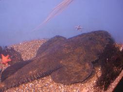 Image of Goosefish