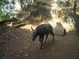 Image of Sumatran serow