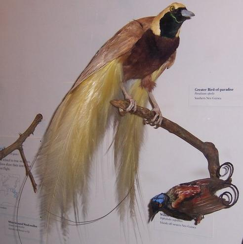 Image of Greater Bird-of-Paradise