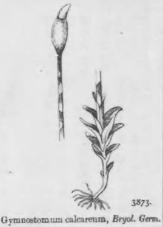 Image of gymnostomum moss
