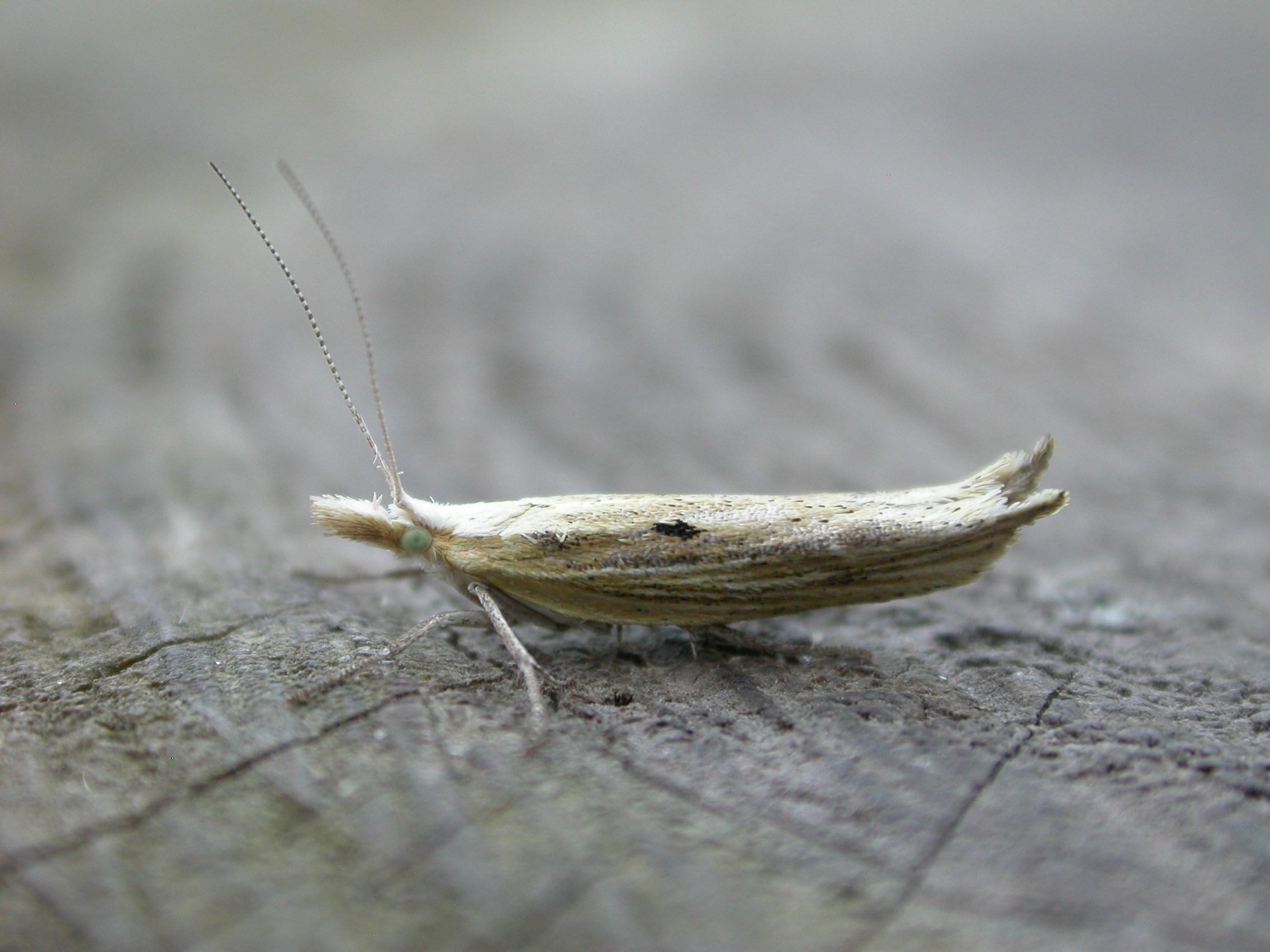 Image of <i>Ypsolopha nemorella</i> (Linnaeus 1758) Linnaeus 1758