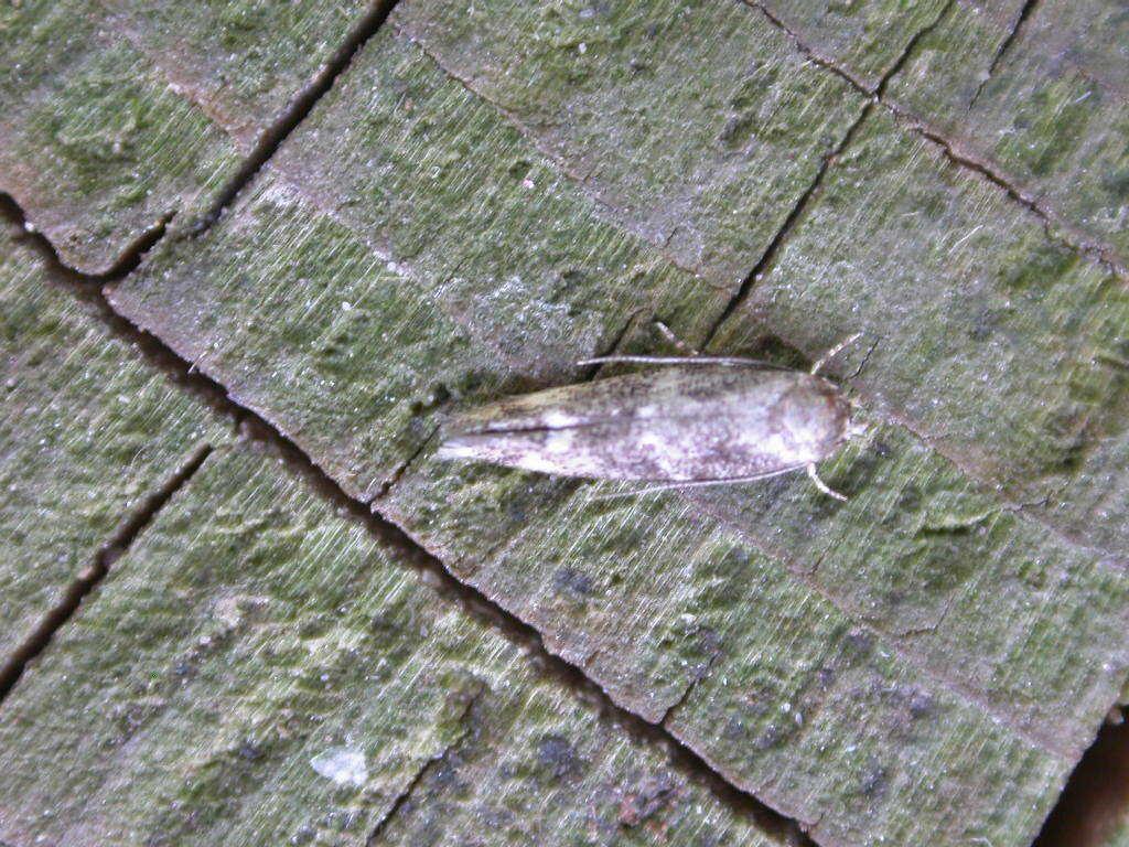 Image of <i>Mompha subbistrigella</i> Haworth 1828