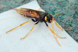 Image of banded horntail sawfly