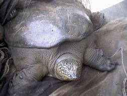Image of Bicallosite Softshell Turtles