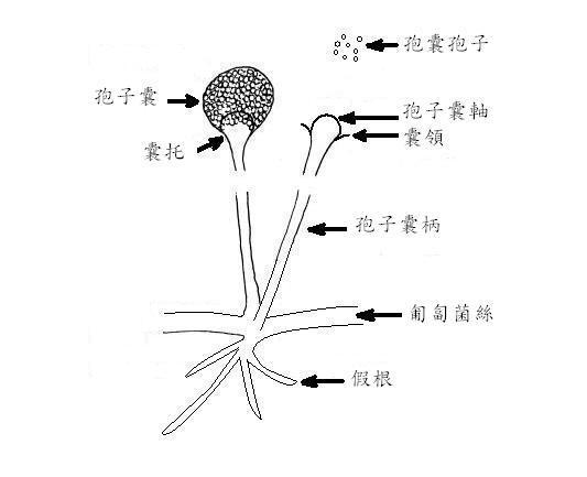 Image of Rhizopus