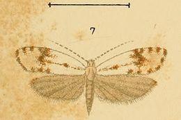 Image of <i>Phrealcia eximiella</i> Rebel 1899