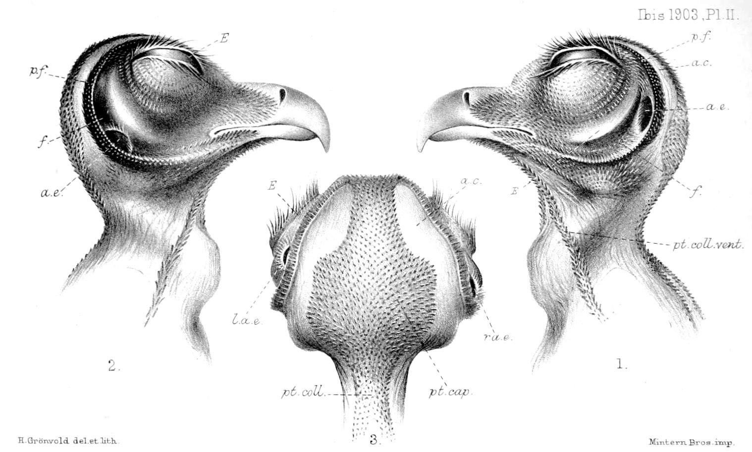 Image of Oriental Bay Owl
