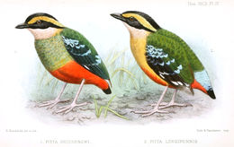 Image of Green-breasted Pitta