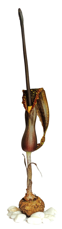 Image of <i>Typhonium venosum</i>