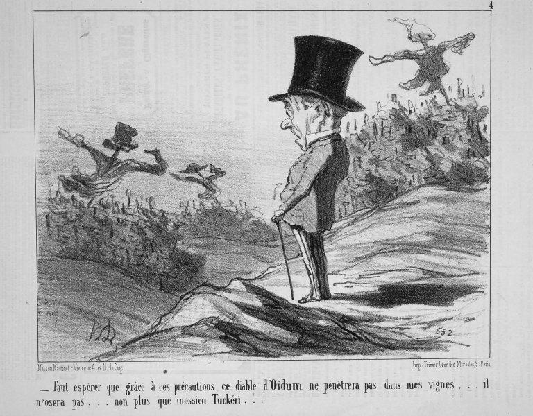 Image of <i>Erysiphe necator</i> Schwein. 1832