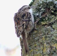Image of Short-toed Treecreeper
