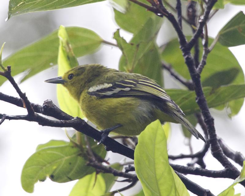 Image of Common Iora