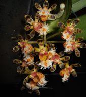 Image of <i>Gastrochilus calceolaris</i> (Buch.-Ham. ex Sm.) D. Don