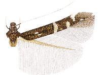 Image of <i>Cosmopterix amalthea</i>