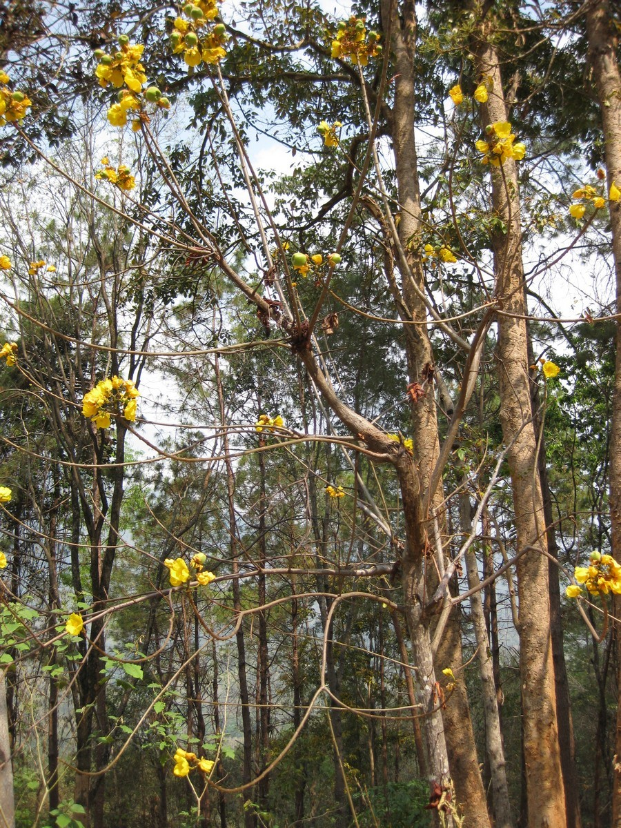 Image of silk-cotton tree