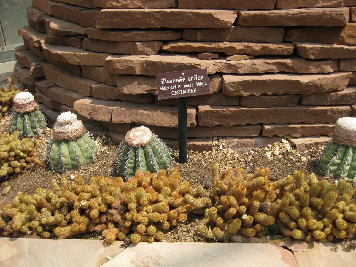 Image of Conelike Turl's-cap Cactus