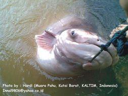Image of Giant Pangasius