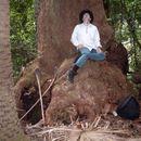 Image of southern mahogany
