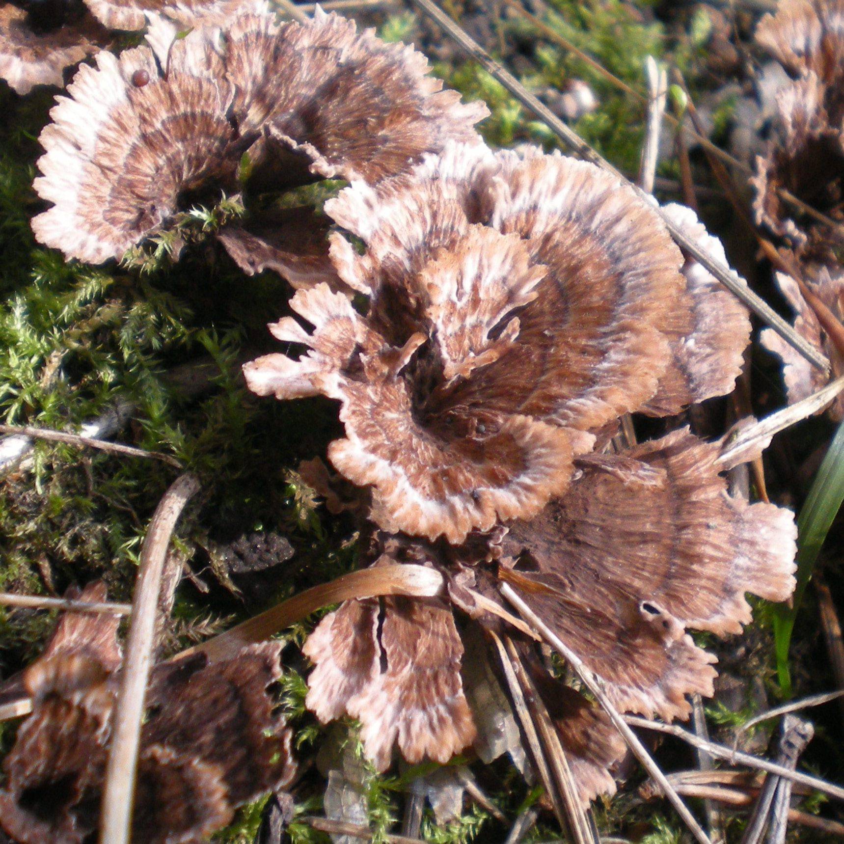 Image of Thelephora