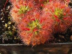 Image of <i>Drosera roseana</i>