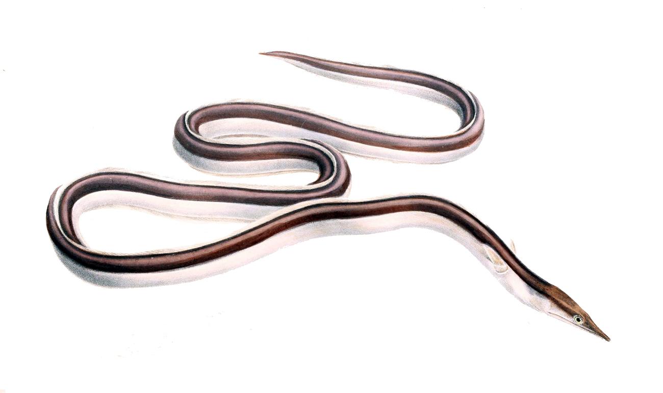 Image of Eel