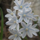 Image of Lebanon squill