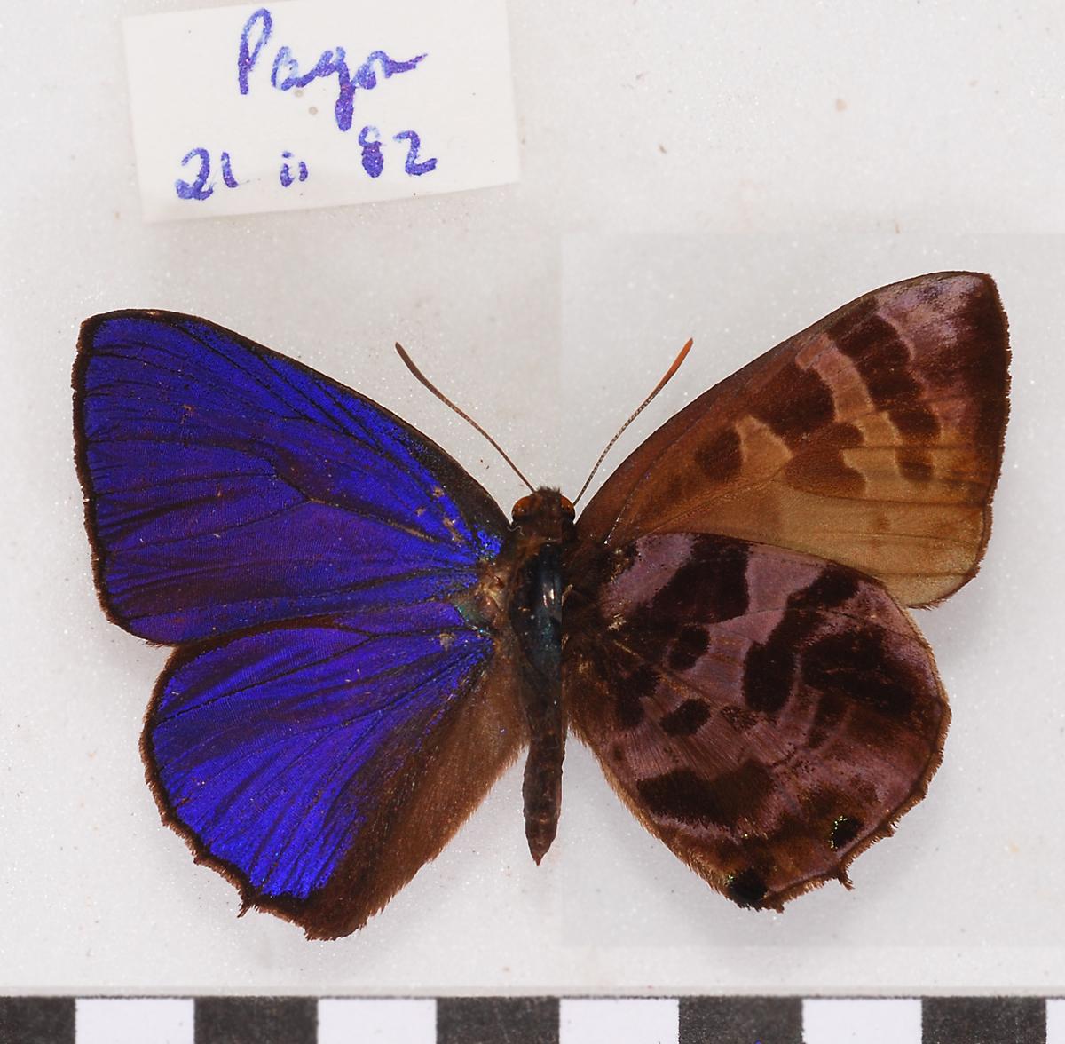 Image of <i>Arhopala fulgida</i> (Hewitson 1863)