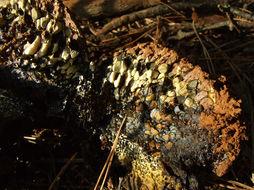 Image of <i>Pisolithus arhizus</i> (Scop.) Rauschert 1959