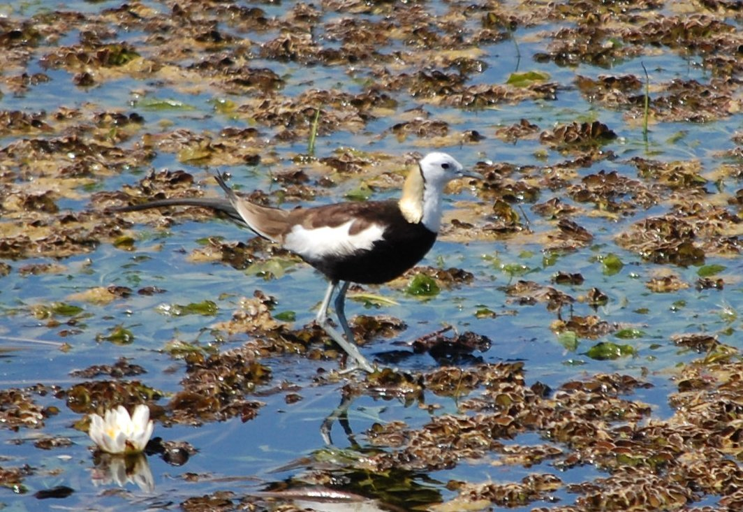 Image of Pheasant-tailed jacana
