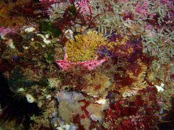 Image of Crevice Kelpfish