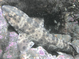 Image of Swell Shark